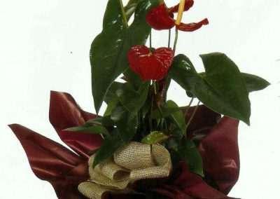 anthuriun ,plantas,en floristeria trebole , en pola de laviana asturias)