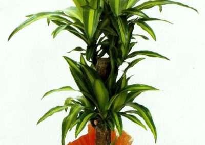 dracena massaginana, plantas en floristeria trebole en pola de laviana ( asturias)